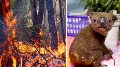 Conheça os dois cães heróis que resgataram coalas dos incêndios florestais na Austrália