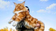 Conheça Samson, o maior gato da cidade de Nova Iorque, que pesa 13 kg e mede dois metros de comprimento