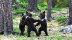"""Como en un cuento de hadas: fotógrafo capta 3 oseznos """"bailando en el bosque"""""""