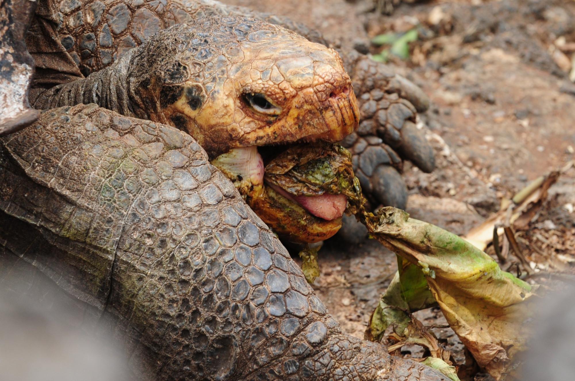 Tortuga de Galápagos de casi 130 años que salvó a su especie de la extinción, se jubila