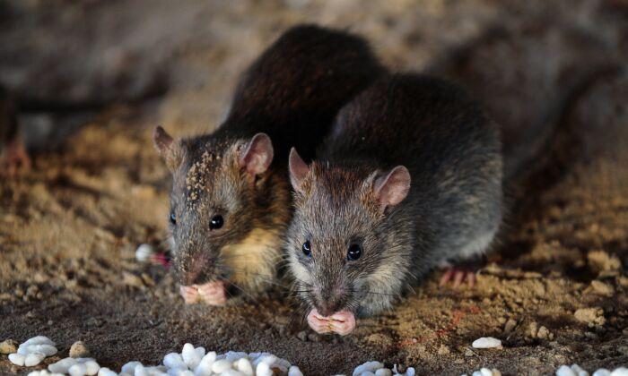 Una foto de archivo de unas ratas. El hantavirus puede ser transmitido a través de los excrementos, la orina y la saliva de las ratas, dicen los expertos. (Sanjay Kanojia/AFP vía Getty Images)