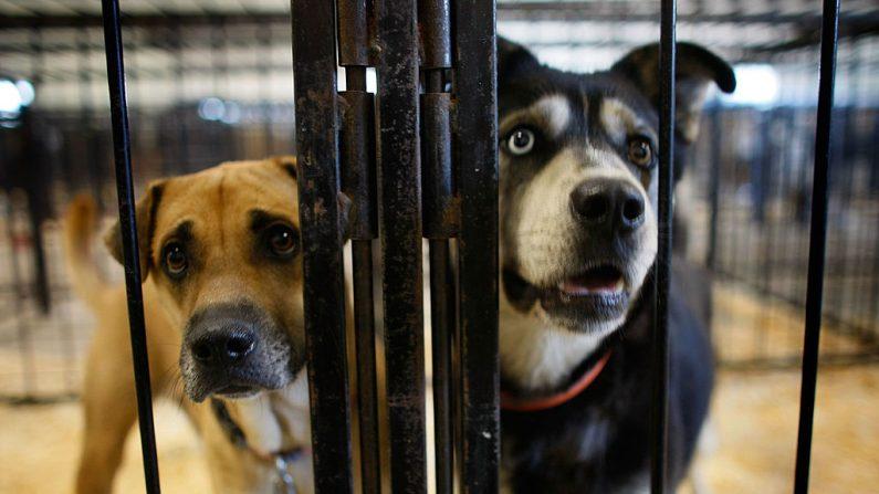 Perros en una jaula después de haber sido dejados en un refugio de animales.  (Joe Raedle/Getty Images)