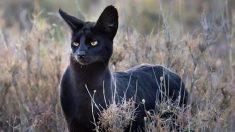 Fotógrafo captura un gato serval negro extremadamente raro en África y causa conmoción