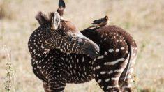 Fotógrafo captura impresionantes imágenes de una rara cría de cebra con lunares en Kenia