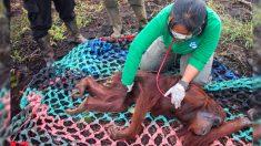 Orangután herido por disparo se recupera y evidencia la crítica situación de la vida en la selva