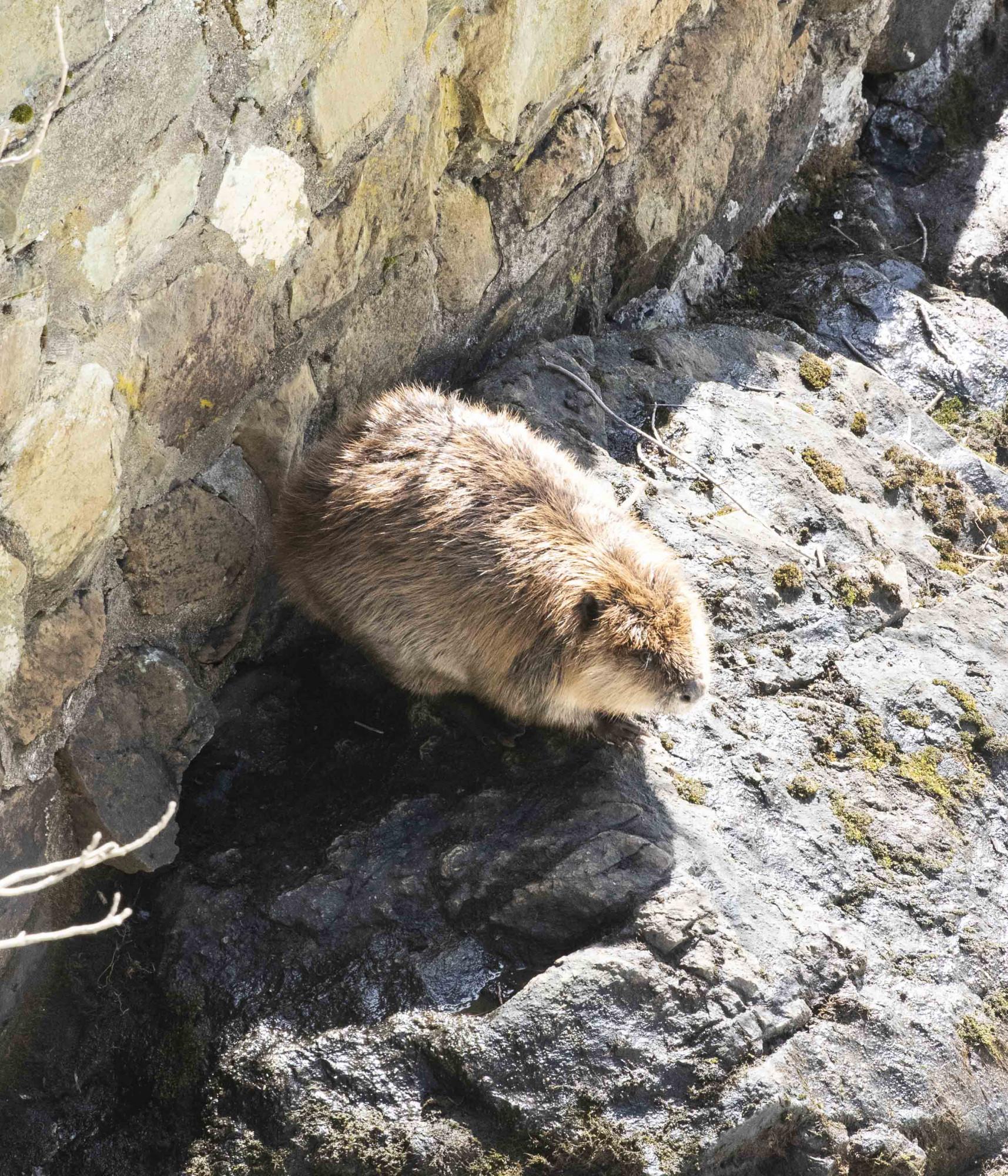 Castor atrapado durante días en la orilla de un río furioso es salvado por un equipo de rescate animal