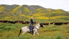 Agricultores y ganaderos resistentes en California responden a la creciente demanda
