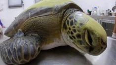 Tortuga rescatada defeca 13 gramos de plástico y destaca el problema de la contaminación