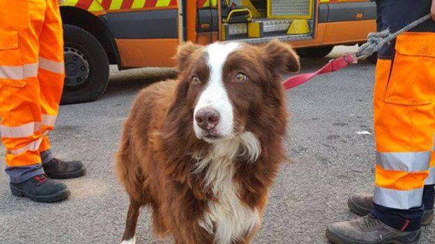 Recordando al perro fiel y guardián que persiguió al camión que llevaba su rebaño al matadero