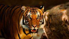 """Muerte de tigre por """"enfermedad respiratoria"""" en India aviva temores relacionados con el COVID-19"""