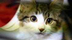 Estudio encuentra que los gatos son altamente susceptibles al virus del PCCh