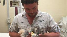 Bebé koala es rescatada de la muerte por el zoológico de Australia y su rehabilitación es un éxito