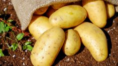 Agricultor regala millones de patatas a personas necesitadas en medio de la crisis por la pandemia
