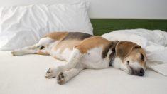 La posición para dormir de su perro puede revelar mucho sobre su personalidad