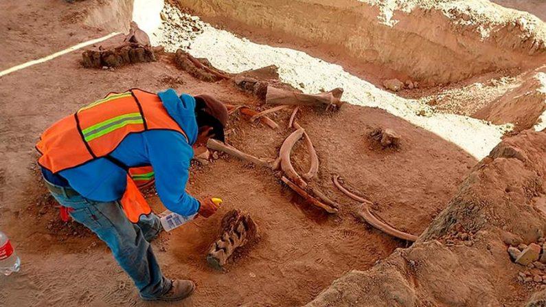 CIUDAD DE MÉXICO (MÉXICO), 22/05/2020.- Fotografía cedida este viernes por el Instituto Nacional de Antropología e Historia (INAH), que muestra restos de mamut hallados durante la construcción del nuevo aeropuerto de Ciudad de México (México). (INAH), Pedro Francisco Sánchez. EFE/INAH/