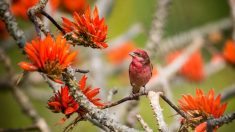 Camachuelos exóticos: ¿Puedes distinguir a estas diferentes aves de color rosa?
