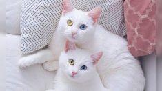 Gatas gemelas con rara condición tienen ojos de diferente color y ganan fama en Instagram