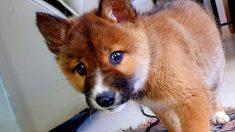 Cachorro de dingo en peligro de extinción es dejado por un águila en el patio trasero de una casa