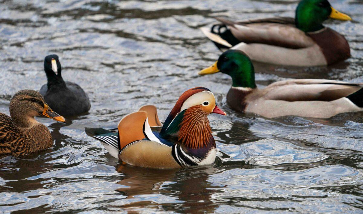 """""""El pato más hermoso del mundo"""": el pato mandarín avistado nuevamente en el lago del oeste de Canadá"""
