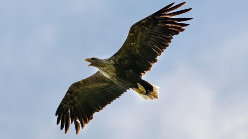 Agregar pájaros tan impresionantes a los cielos ingleses después de dos siglos y medio es de hecho un gran logro.   (Dan Kitwood/Getty Images)