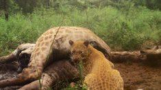 "Investigador toma fotografía de un leopardo ""fresa"" extremadamente raro en Sudáfrica"