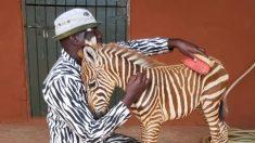 """Rescatadores de vida silvestre usan un traje a rayas para convertirse en """"madre"""" de una cebra huérfana"""