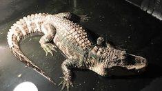Caimán descubierto viviendo en el sótano de un hombre en Ohio fue llevado a un santuario de reptiles