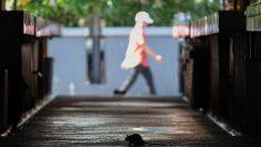 CDC alerta sobre 'comportamiento inusual o agresivo de roedores' a raíz de la pandemia