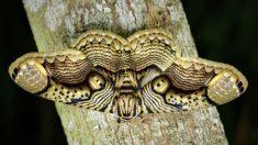 """Fotógrafo captura increíbles imágenes de las alas de """"Ojo de Tigre"""" de la polilla brahmán gigante"""
