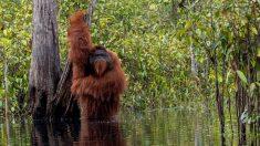 Fotógrafo toma inusual y graciosa foto de un orangután tomando un baño en un río de Indonesia