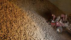 Voluntarios rescatan miles de libras de papas desechadas durante el confinamiento en Idaho