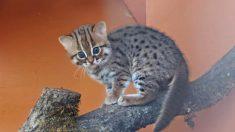 """Santuario animal de Inglaterra acoge a raza del """"felino más pequeño del mundo"""", y son adorables"""