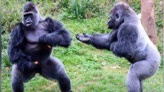 Graciosa foto muestra dos grandes gorilas en una acalorada discusión por unas irresistibles zanahorias