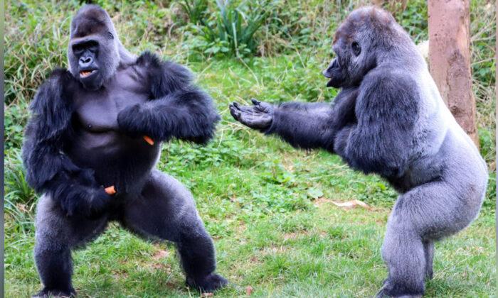 Los gorilas discuten por comida. (Caters News)
