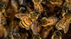Enjambre de abejas mata a 3 perros en Arizona, informan bomberos