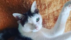 Gatito sin un ojo y con cuatro orejas recibe una segunda oportunidad luego de su rescate