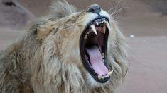 Dos leones atacan y dejan gravemente herida a su cuidadora en zoológico de Australia