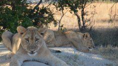 Leones aprovechan el cierre de los safaris por COVID para tomar una siesta gatuna en plena carretera