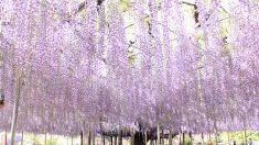 """""""Una nube purpura"""": La famosa glicinia de casi 150 años en Japón continúa hechizando a sus admiradores"""