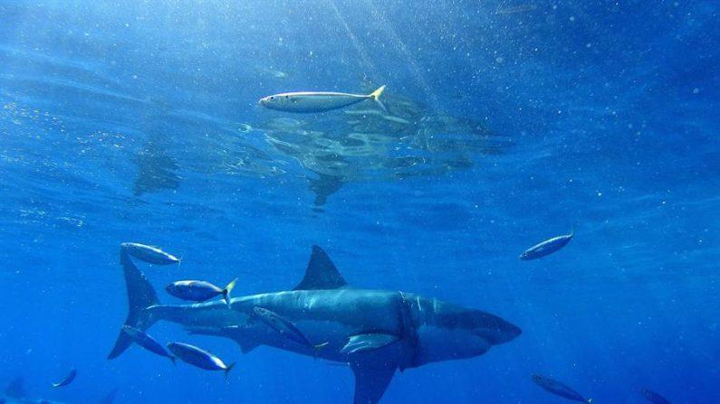 Desde el 1 de enero hasta el 18 de junio de este año solo hubo 18 ataques no provocados de tiburones a humanos en todo el mundo, seis menos que en igual periodo de 2019, de los cuales tres resultaron mortales, uno más que en la primera mitad del año pasado. EFE/Isbael Reviejo/Archivo