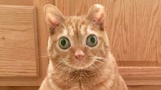 Gato con ojos saltones que parece siempre sobresaltado es famoso en Instagram