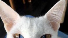 Conoce este impresionante gato blanco con una rara condición genética que hace sus ojos sean bicolor