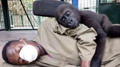 Bebé gorila huérfano crea un fuerte vínculo con su cuidador humano después de ser rescatado