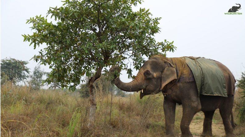 Karma explora su nuevo hogar en el Wildlife SOS Hospital (Cortesía de Wildlife SOS)