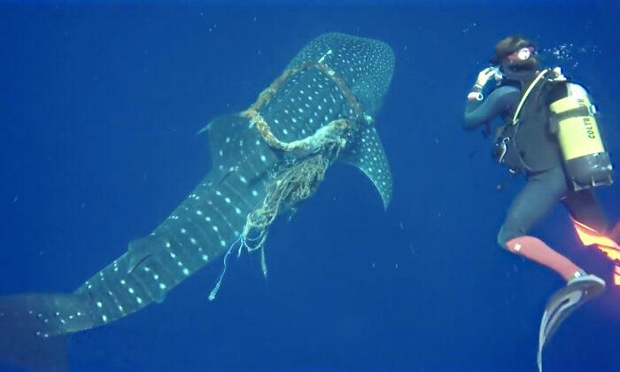 El tiburón ballena con una gruesa cuerda enredada en su cuello. (Caters News)