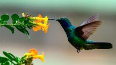 Los colibríes ven colores que los humanos no pueden percibir, según estudio