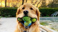 Golden Retriever logra récord mundial Guinness de la mayor cantidad de pelotas de tenis en su boca