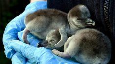 Supermercado adopta pingüinos de Humboldt del zoo de Chester en Reino Unido para evitar su cierre