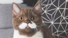 """Gatito con adorable """"Bigote"""" y """"Esmoquin"""" blanco gana fama en Instagram con 60,000 seguidores"""