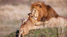Fotos conmovedoras de papá león abrazando a su cachorro revelan el lado sensible del Rey de la Sabana